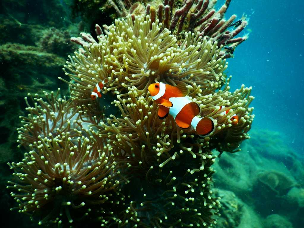 Clownfish in coral